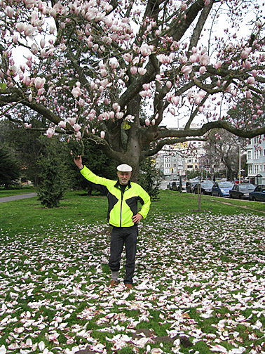 magnolia tree. incredible magnolia tree