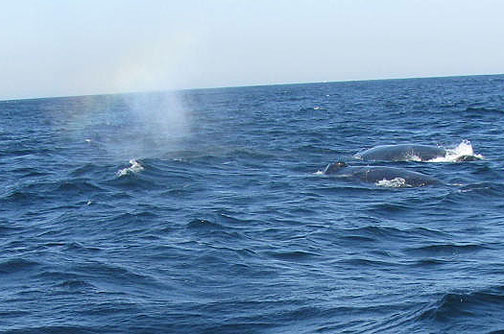 Thar they blow! Two humpbacks and a rainbow spray from their exhale!