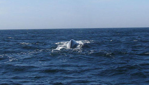 Thar she blows! Blue whale, straight ahead!