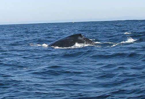 A humpback curves out of the sea.
