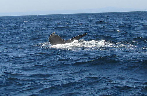 Humpback shows fluke from side.