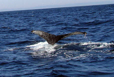 Humpback fluke, my best shot!
