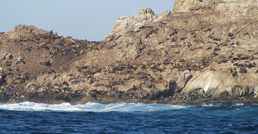 Seals and sea lions bask in winter sun on west side of Farallones.