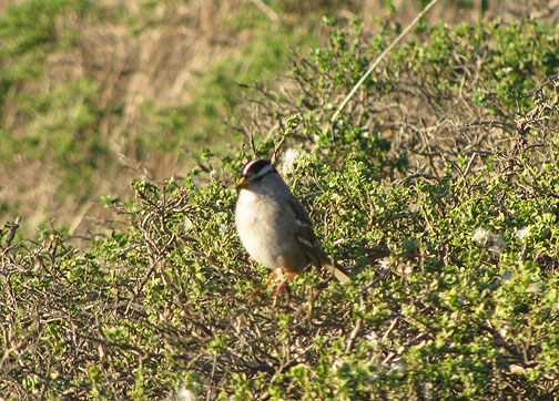 Little Brown Bird (LBB) on Twin Peaks, Nov. 30, 2008.