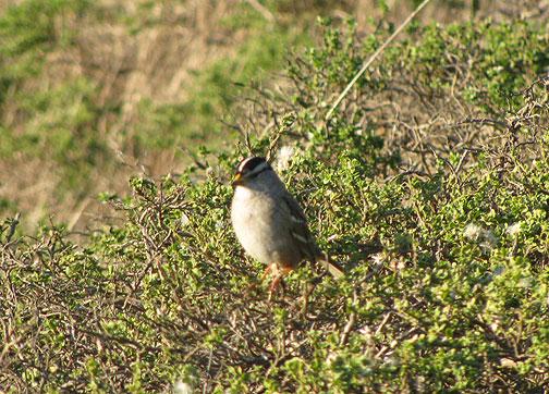 Little Brown Bird (LBB) on Twin Peaks, Nov. 30, 2008.