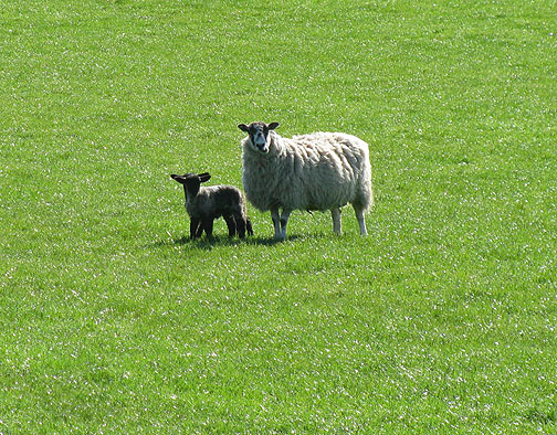 lamb-and-mom_8734