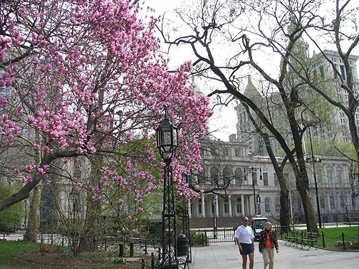 Magnolia in City Hall Park, New York.