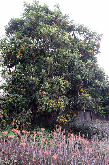 Loquats ready to harvest on Bernal, early June 2009.