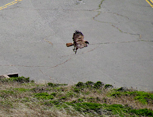 This redtailed hawk is reaching for its dinner off the south peak of Twin Peaks, June 09.
