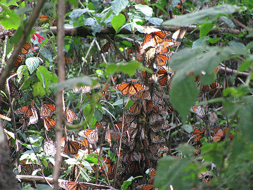 All over the forest were dense clusters of Monarchs like these.