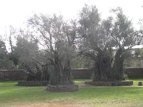 400 year old olive trees in Tzintzuntzan.
