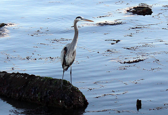Came upon this beautiful heron on the bayshore near Mission Rock resort last week.