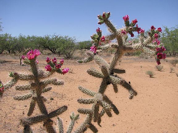 pink-blooming-cactus_7437