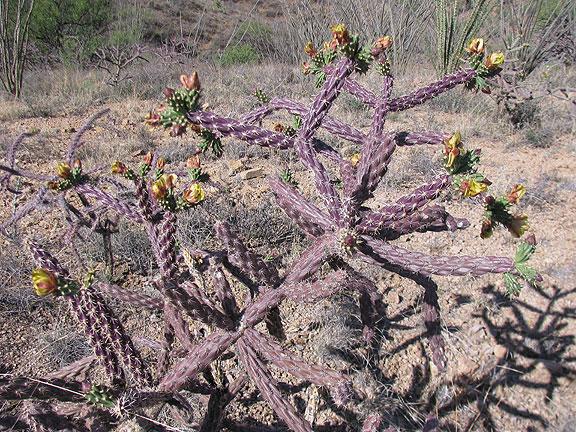 purple-cactus_7604