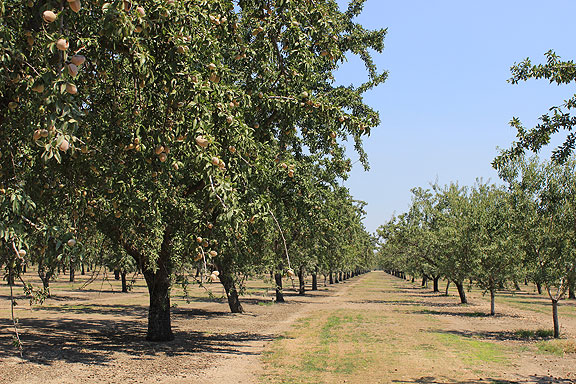 Closer look at an almond orchard.