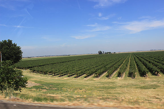 Relatively new vineyards off Highway 12 on Sherman Island.