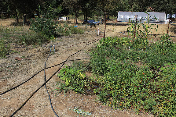 Small garden plot at their house with irrigation running everywhere.