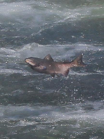 salmon-cu_3319