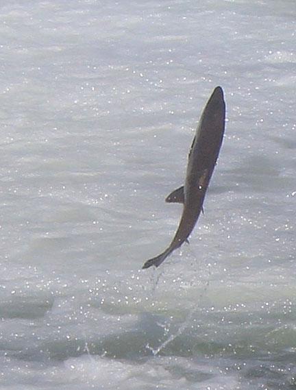 salmon-cu_3322