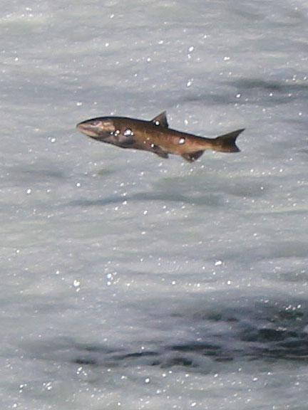 salmon-cu_3325