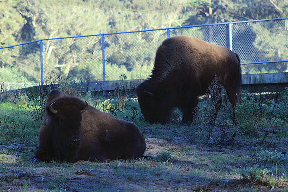 Bison in Golden Gate Park... turns out the herd there was crucial to restocking the wild herds now slowly expanding in the plains again...