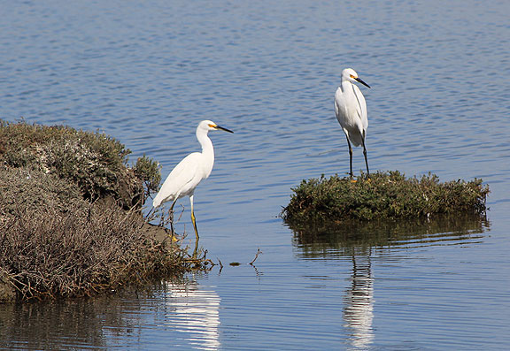 Snowy egrets hanging out.