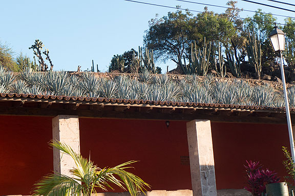 Here's a bunch of the agave plants that are the source of tequila growing above the old laundry washing area in the heart of the old part of town.