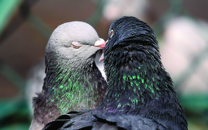 Kissing-Birds-Pigeons