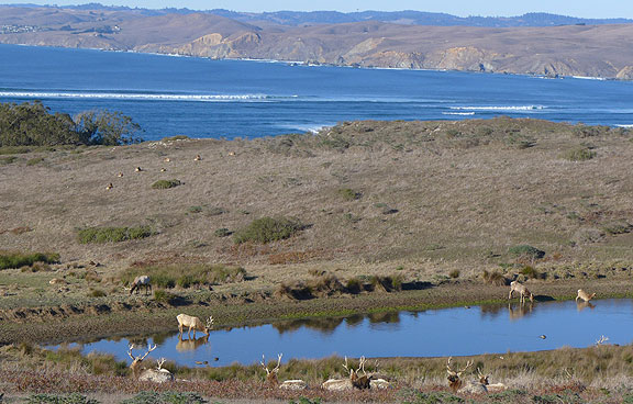 From a birthday hike on Tomales Point, elk watering at a pond with Bodega Bay and Sonoma county coast in distance across mouth of Tomales Bay.