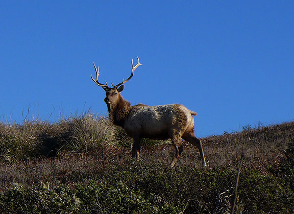 Elk? Point Reyes? Not related to article, but nice for a visual break here and there!...