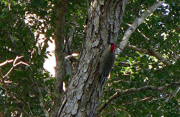 West Indian Woodpecker in protected biospheric zone adjacent to Bay of Pigs.