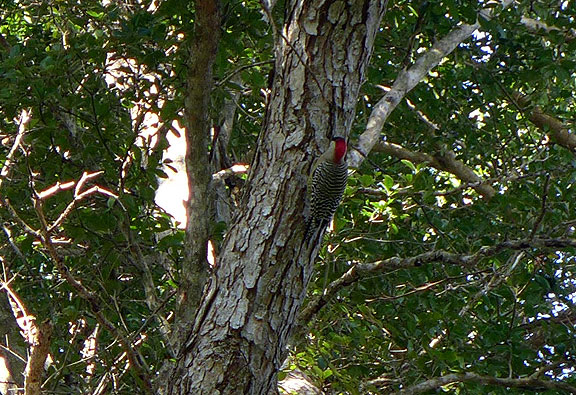 A West Indian Woodpecker, seen not far from the Bay of Pigs!