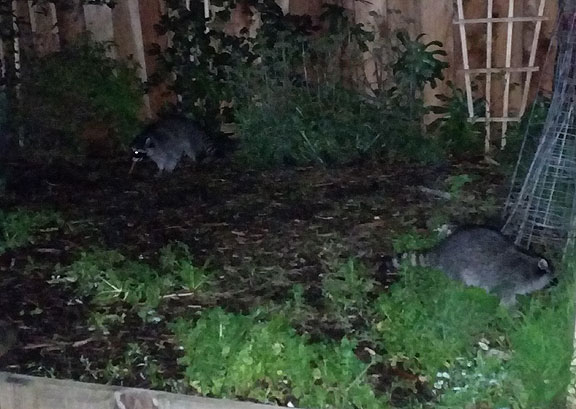 These raccoons had their way in our backyard during our annual Posada on December 17... fearless critters!